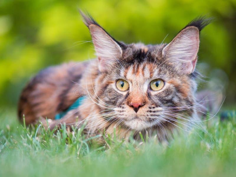 Maine Coon-kat in park royalty-vrije stock afbeeldingen