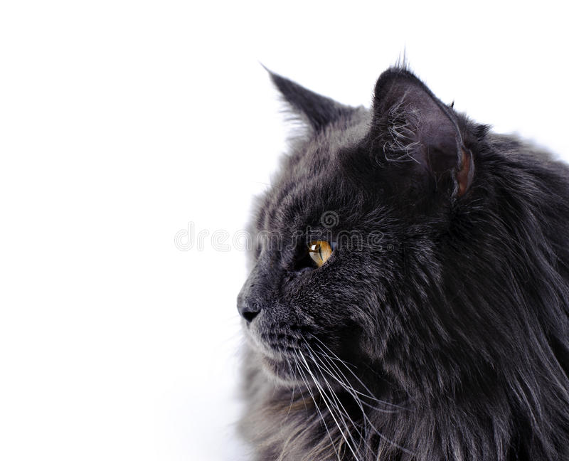 Maine Coon katt royaltyfria foton