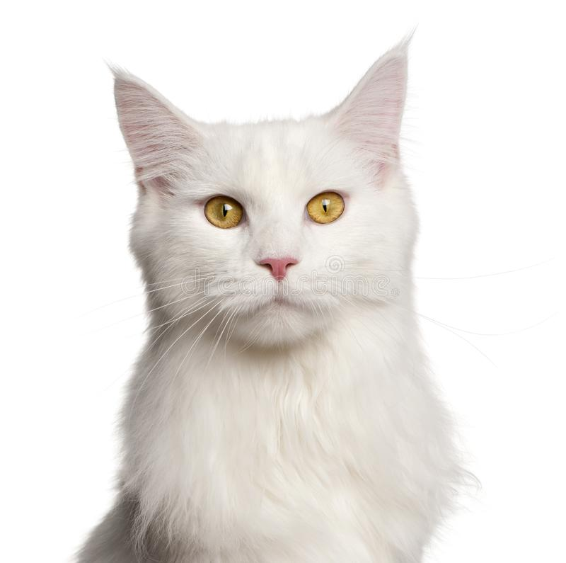 Maine Coon katt, 8 gamla månader royaltyfri bild