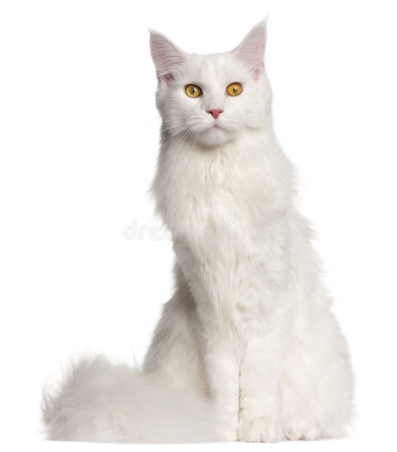 Maine Coon katt, 8 gamla månader arkivfoto
