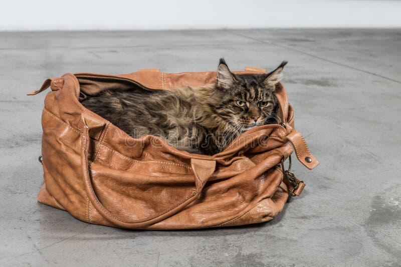 Maine Coon katt i en påse arkivfoto