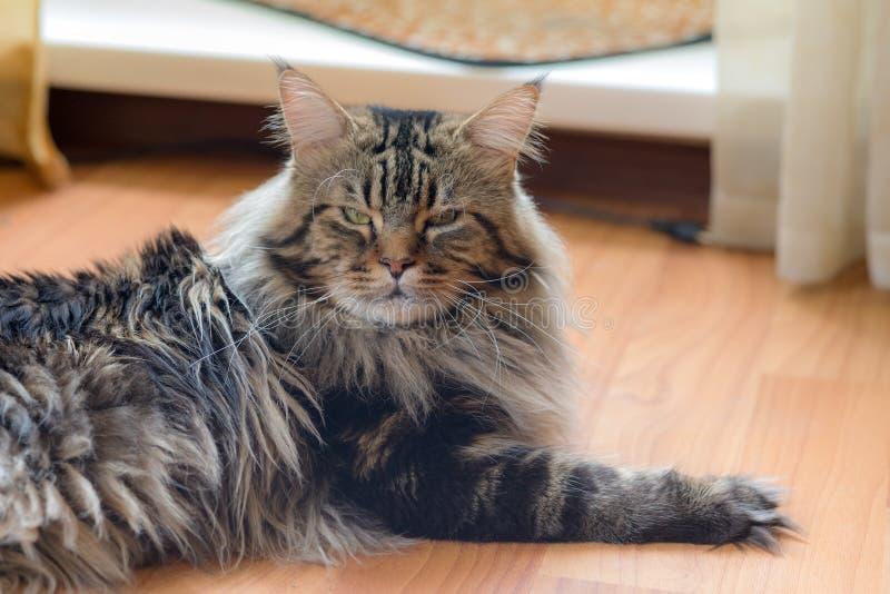 Maine Coon katt på golvet fotografering för bildbyråer