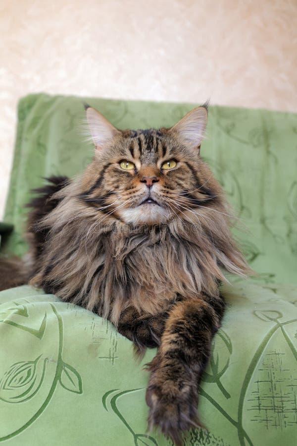 Maine Coon katt på soffan royaltyfri foto