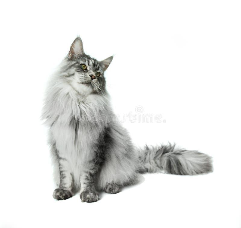 Maine Coon katt som bort sitter och ser, isolerat på vit royaltyfri fotografi