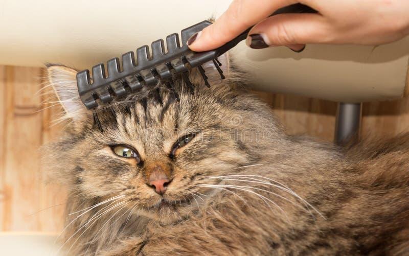 Maine Coon katt som kammar hår arkivbilder