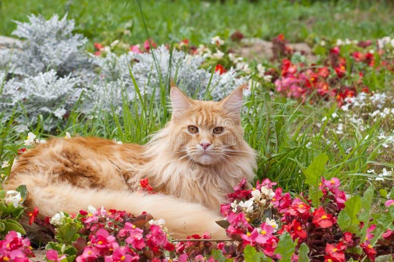 Maine Coon katt som ligger på blomsterrabatt fotografering för bildbyråer