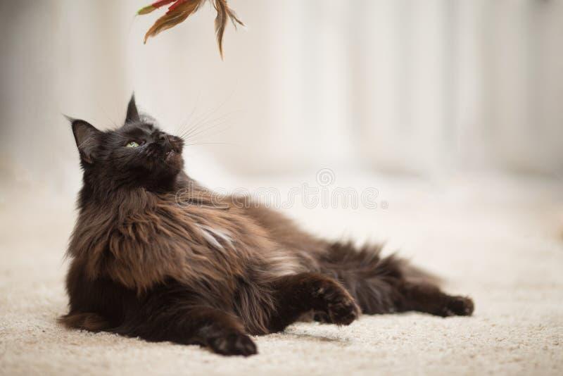 Maine Coon katt som ligger på golvet royaltyfri fotografi