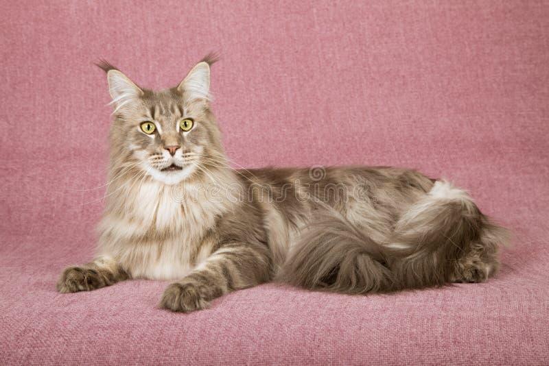 Maine Coon katt som ner ligger på malvafärgad bakgrund royaltyfri fotografi