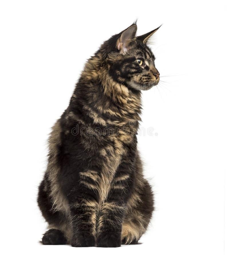 Maine Coon katt som sitter och ser bort isolerad på vit royaltyfri bild