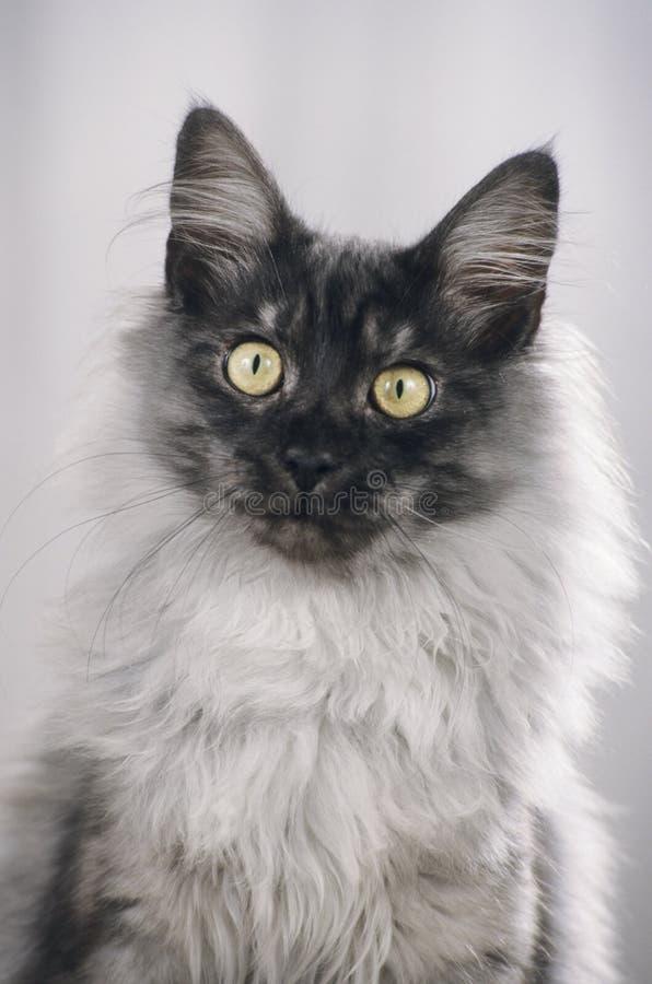 Maine Coon-kattengezicht royalty-vrije stock foto