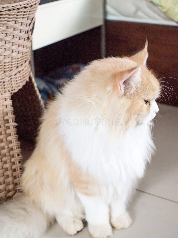 Maine Coon-kattenportret royalty-vrije stock fotografie