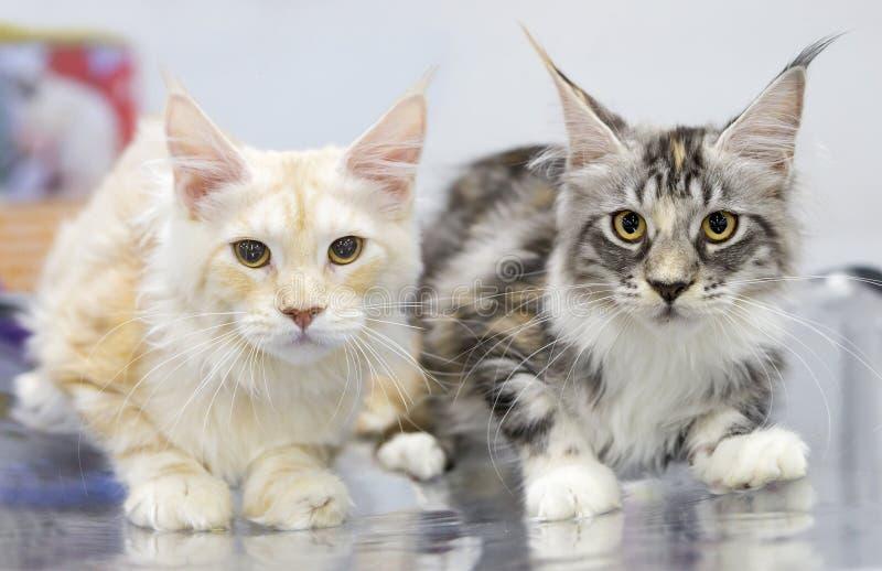 Maine Coon katter är fläckigt randigt för vit och för tabi royaltyfria foton