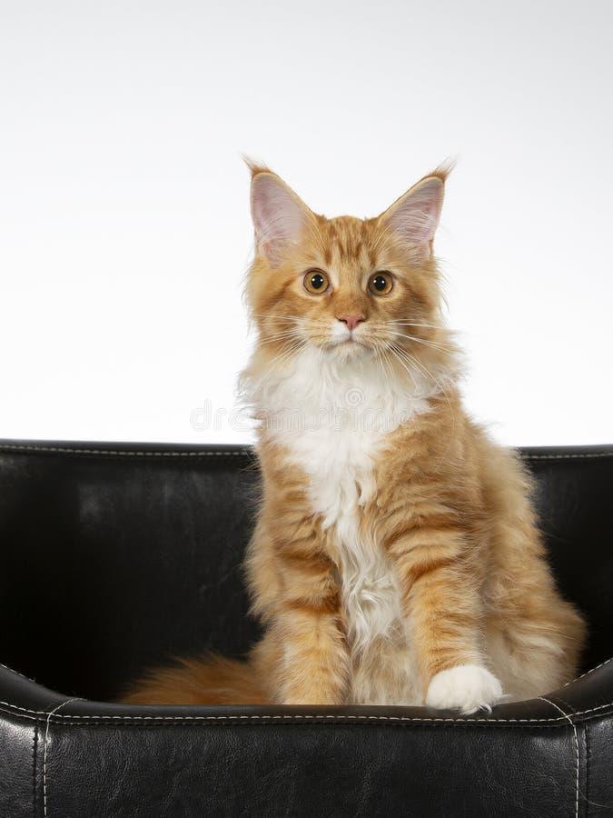 Maine Coon kattportriat i en studio royaltyfri fotografi