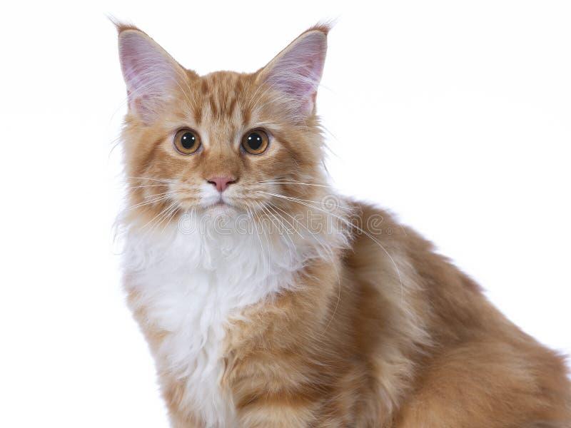 Maine Coon kattportriat i en studio royaltyfri bild