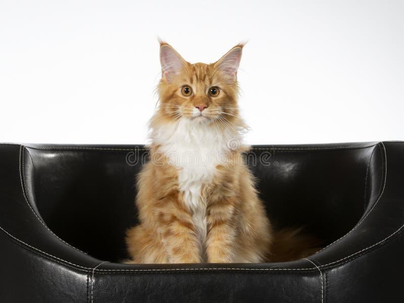 Maine Coon kattportriat i en studio arkivfoto