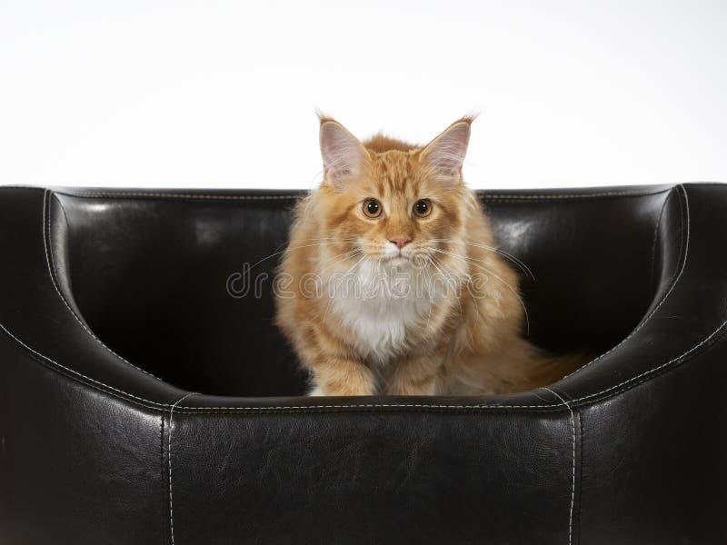 Maine Coon kattportriat i en studio fotografering för bildbyråer