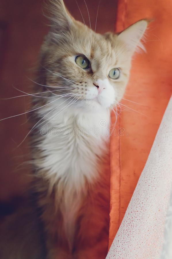 Maine Coon kattstående royaltyfri bild