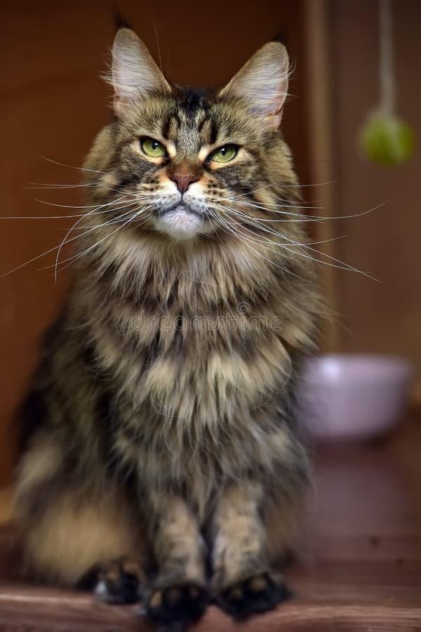 Maine Coon kattst?ende arkivfoto