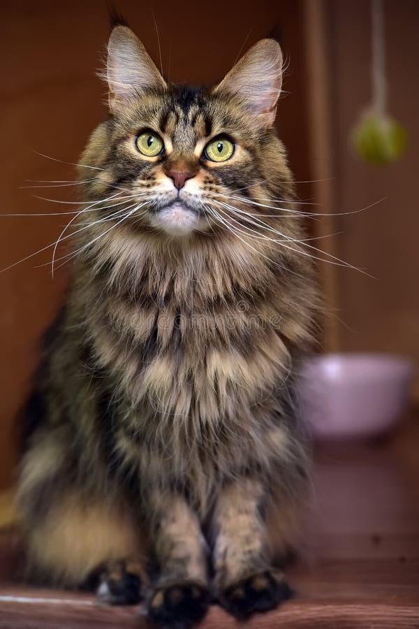 Maine Coon kattst?ende royaltyfri fotografi
