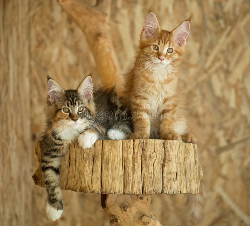 Maine Coon kattungar royaltyfri fotografi