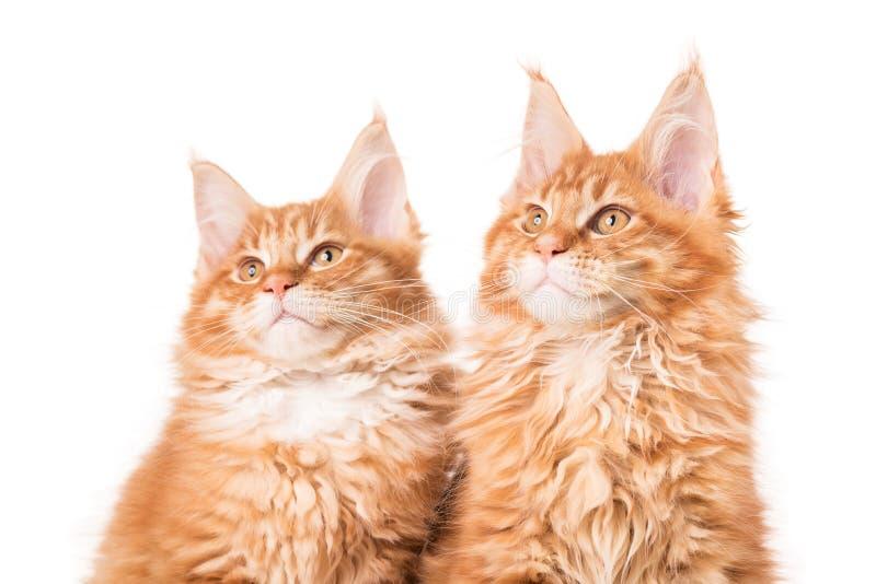 Maine Coon kattungar fotografering för bildbyråer