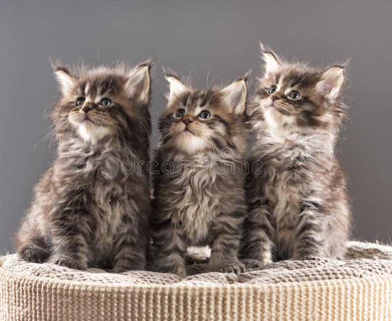 Maine Coon kattungar royaltyfri foto