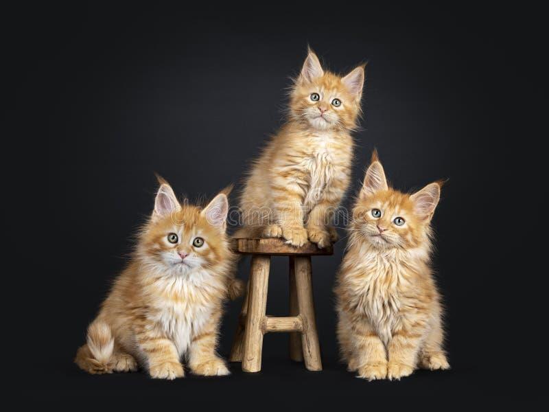 Maine Coon kattungar på svart royaltyfria bilder