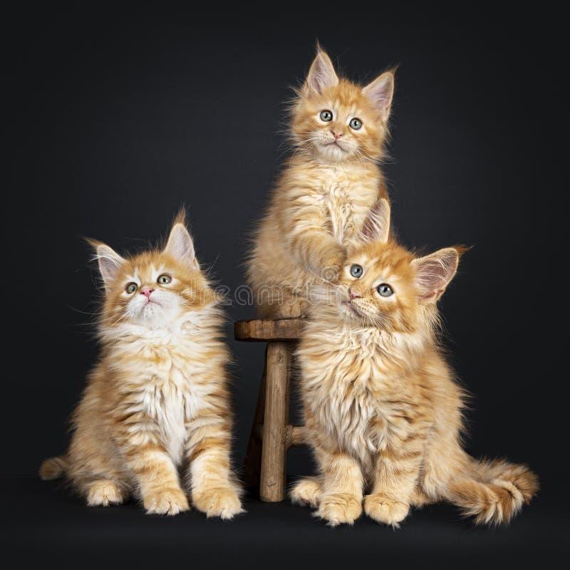 Maine Coon kattungar på svart royaltyfria foton