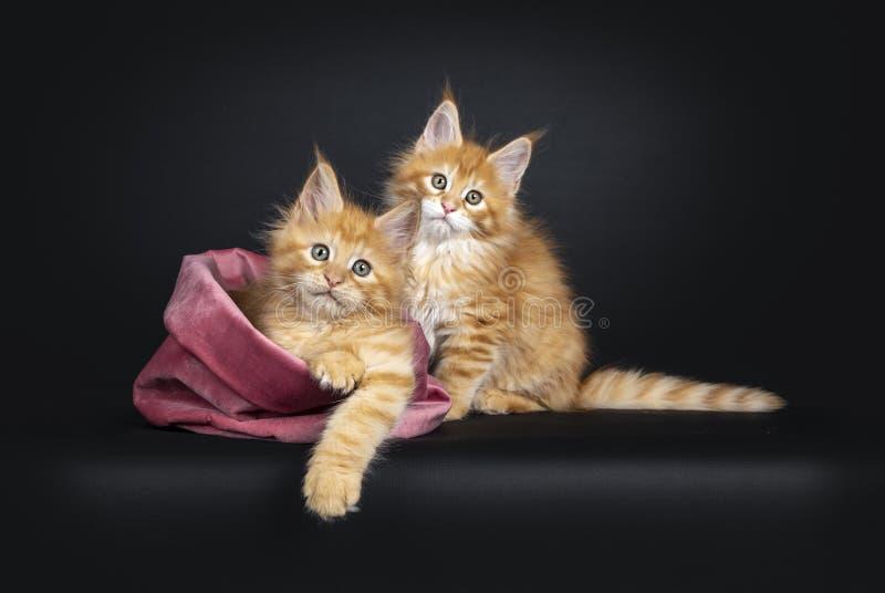 Maine Coon kattungar på svart arkivfoton