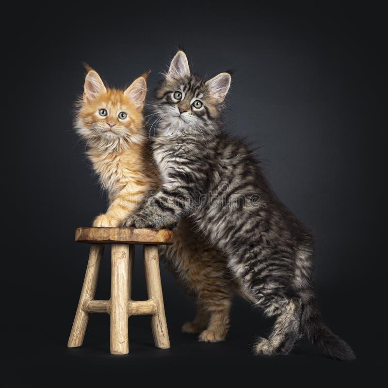 Maine Coon kattungar på svart royaltyfri bild