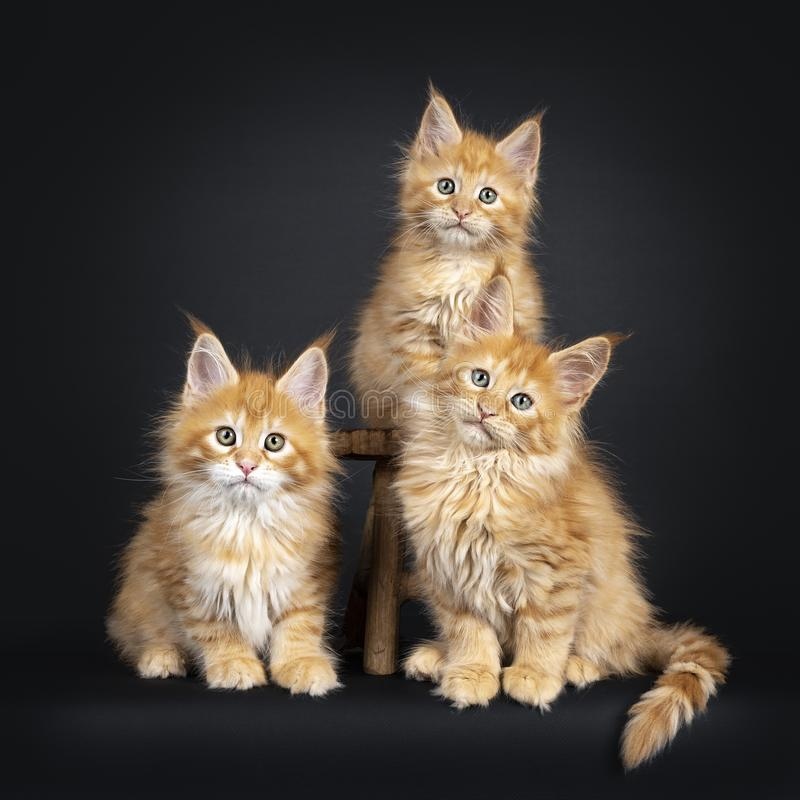 Maine Coon kattungar på vit royaltyfria bilder