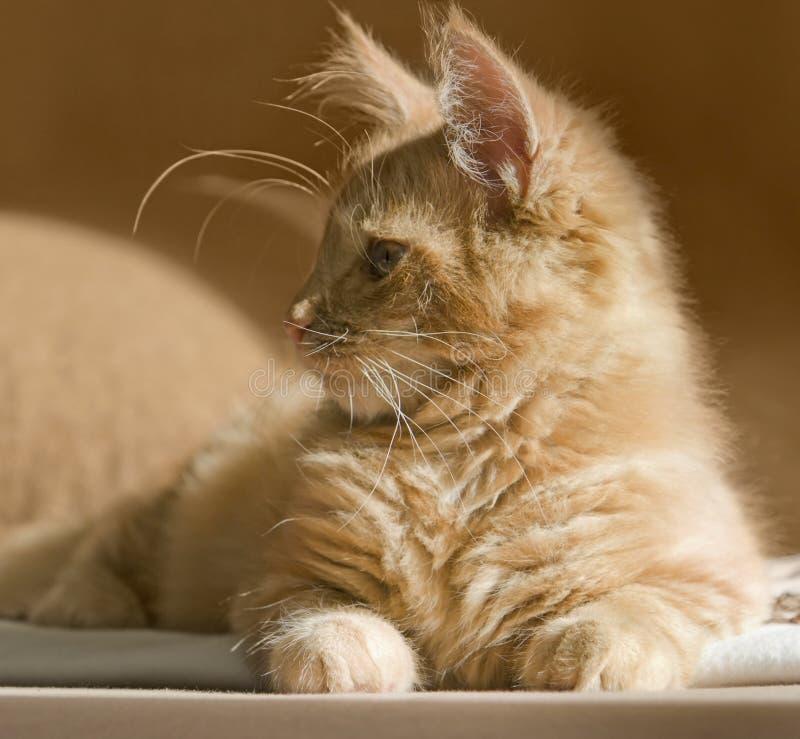 Maine Coon kattunge royaltyfri fotografi