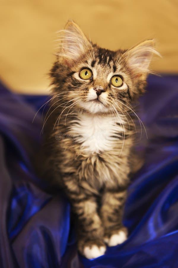 Maine Coon kattunge i blå satäng arkivfoton
