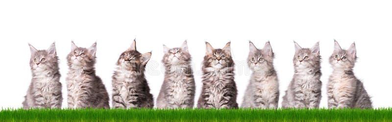 Maine Coon kattunge i gräs fotografering för bildbyråer