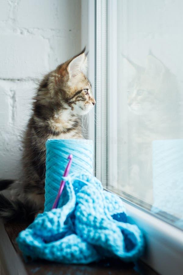 Maine Coon kattunge och sticka av ljust blått garn och en virkningkrok på en mörk fönsterbräda mot en vit tegelstenvägg selektivt arkivbilder