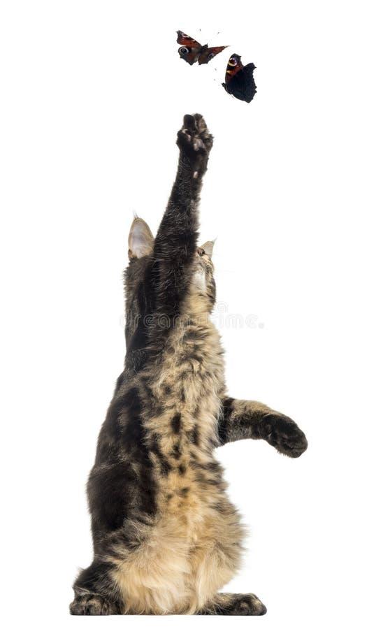 Maine Coon kattunge på bakre ben som försöker att fånga fjärilsflyin arkivbild