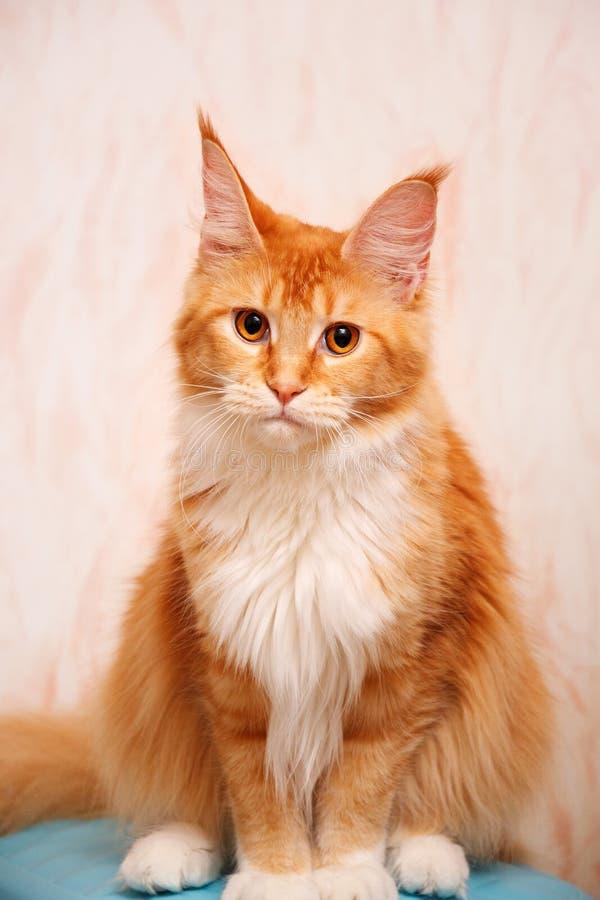 Maine Coon-Katze ist, betrachtend sitzend und die Kamera Katzenfarberot tickte mit Weiß lizenzfreie stockfotos
