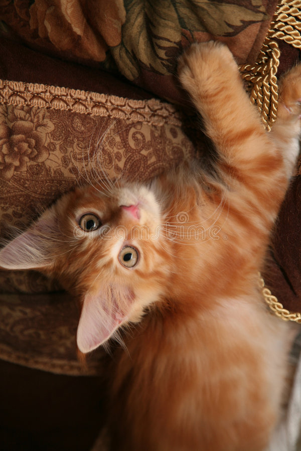 Download Maine Coon Kitten Stock Photos - Image: 1704503
