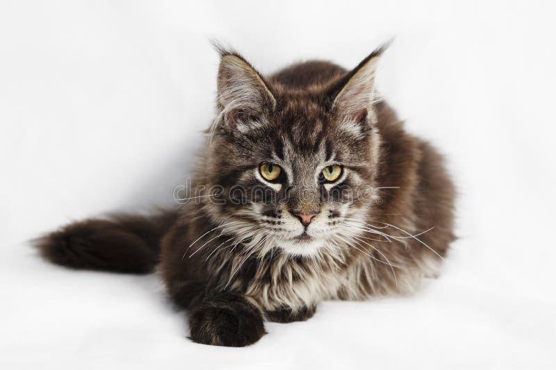 Maine Coon Kitten royaltyfria bilder