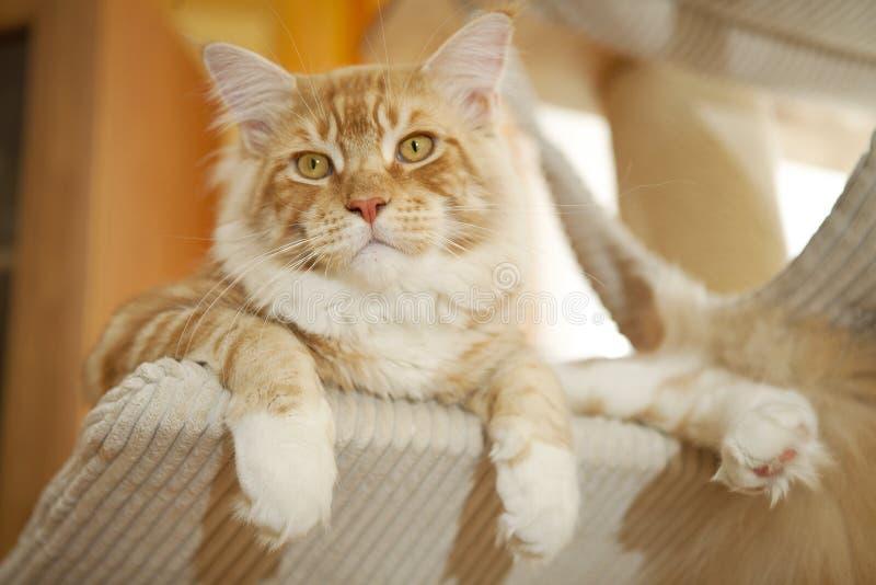 Maine Coon Kitten stockbild