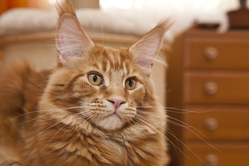 Maine Coon Kitten royaltyfri bild