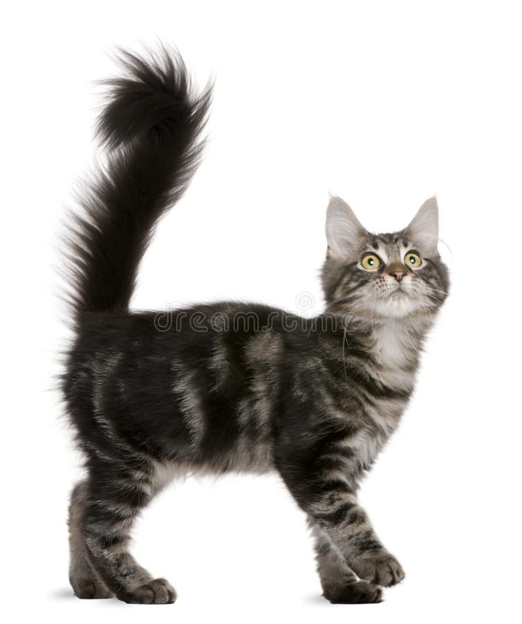 Download Maine Coon Kitten, 4 Months Old, Looking Up Stock Images - Image: 17124834