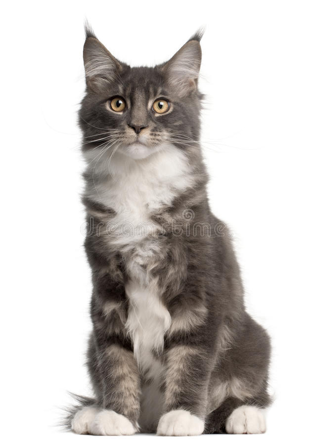 Download Maine Coon Kitten, 5 Months Old, Sitting Stock Photo - Image: 16822048