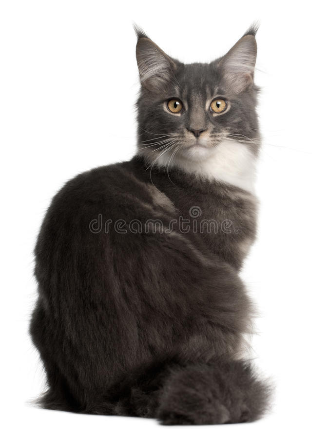 Maine Coon Kitten, 5 months old, sitting royalty free stock image