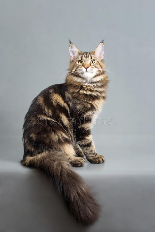 Maine Coon kitten, black marble color, 6 months old. Studio photo of striped kitty. Beautiful young cat sitting on grey royalty free stock photography