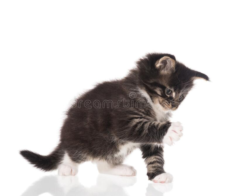 Maine Coon kitten stock afbeelding