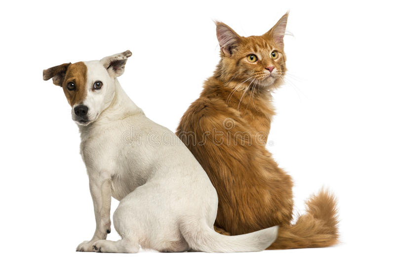 Maine Coon kitten and a Jack russell stock photos