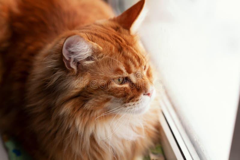 Maine Coon Kitten Looking Out rouge de fenêtre images libres de droits
