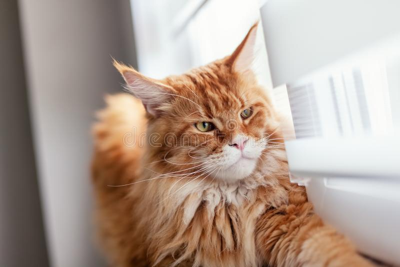 Maine Coon Kitten Looking Out rouge de fen?tre images stock