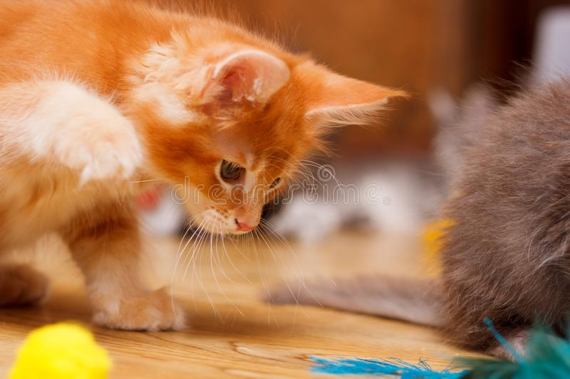 The Maine Coon kitten looks to the floor. Raised his paw to play. Cat color Red ticked royalty free stock photo